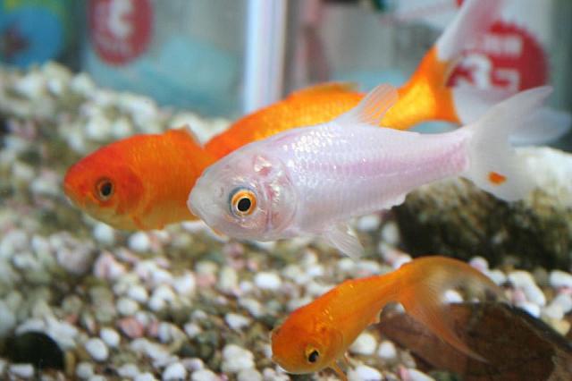 Can You Eat A Goldfish Food Republic
