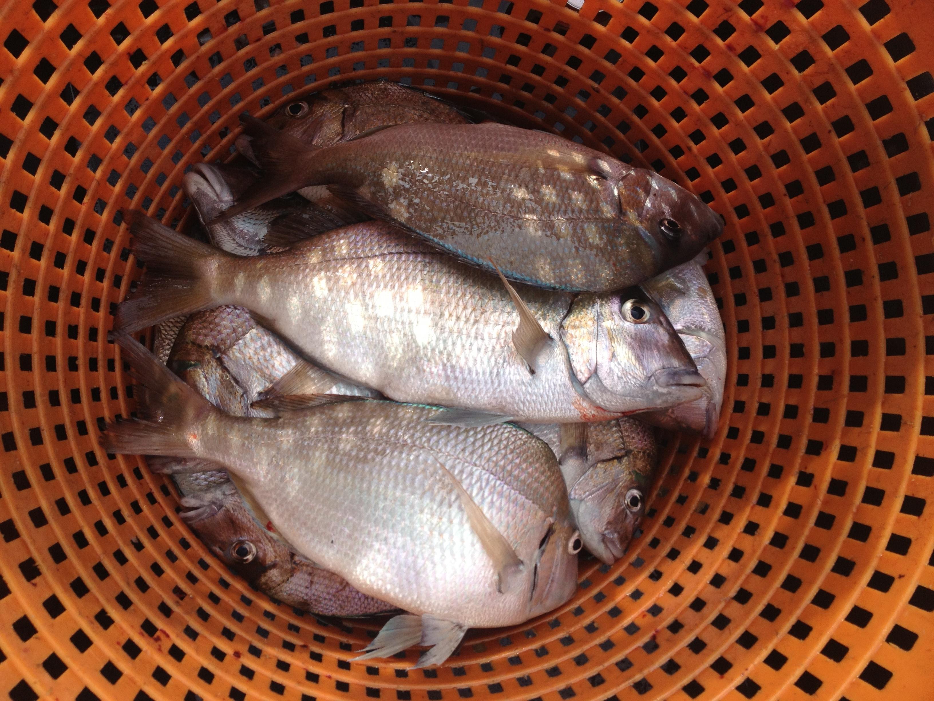 Enter the porgy boat chamber a chartered fishing primer for Menhaden fish meal