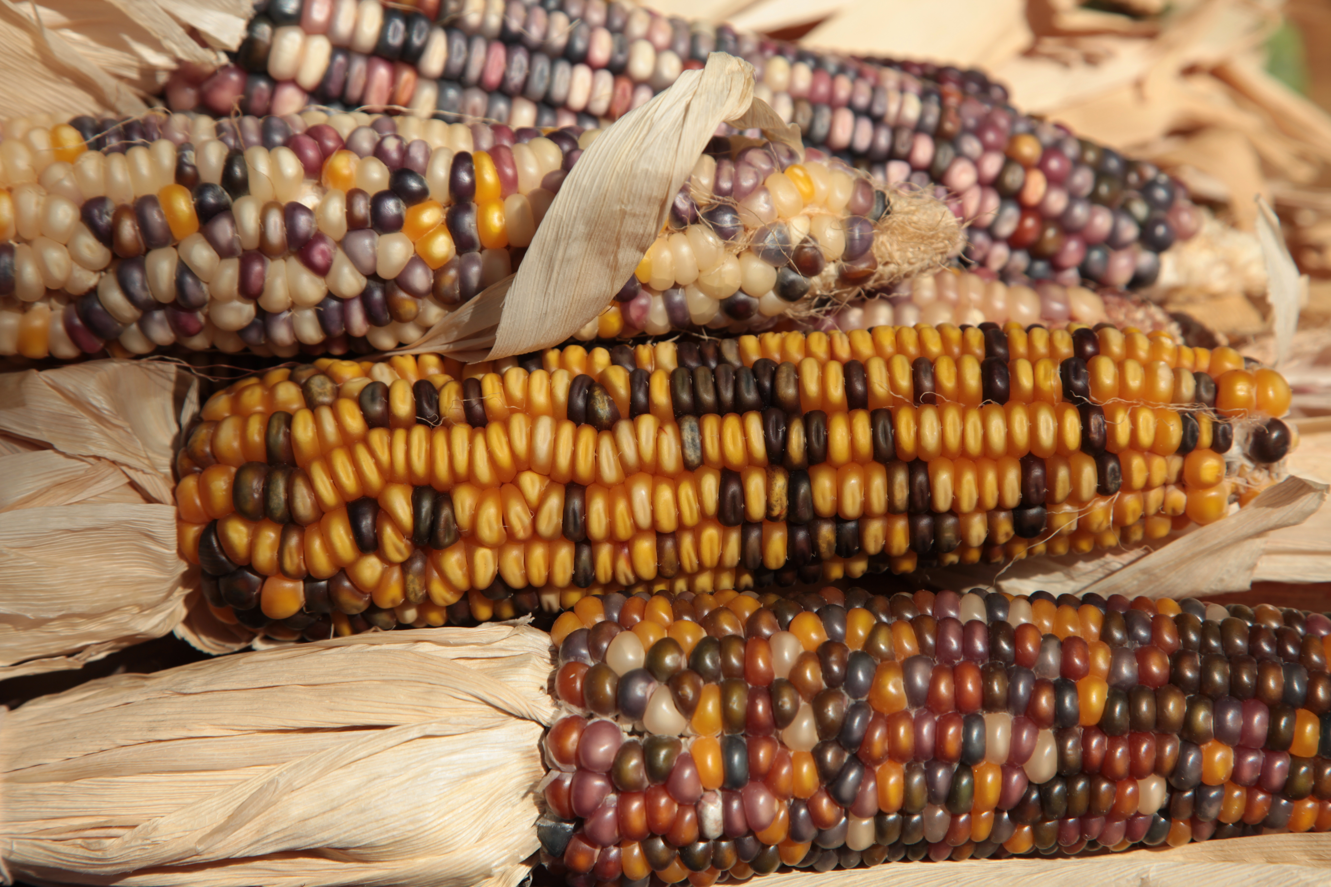 8 things you didn u0026 39 t know about heirloom corn