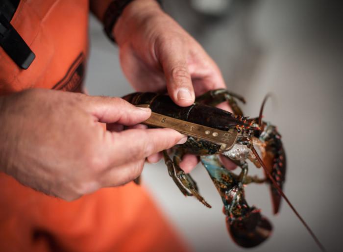 lobster_measure