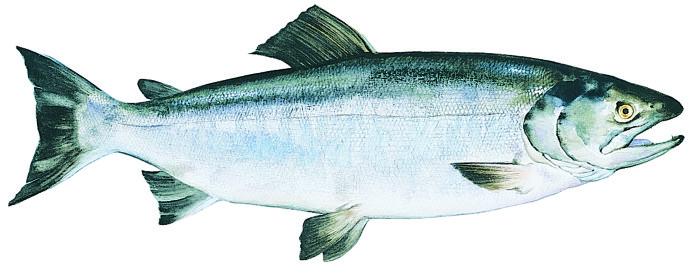 keta-alaska-salmon
