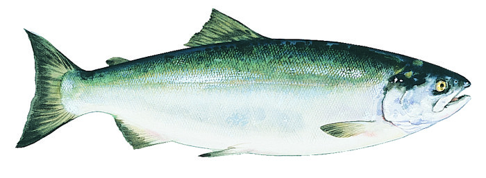sockeye-alaska-salmon
