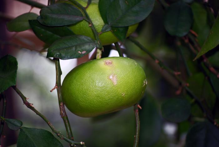Citrus 'Oroblanco' (Hybrid Grapefruit)