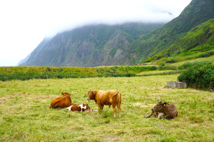 happy cows Azores Jenny Miller