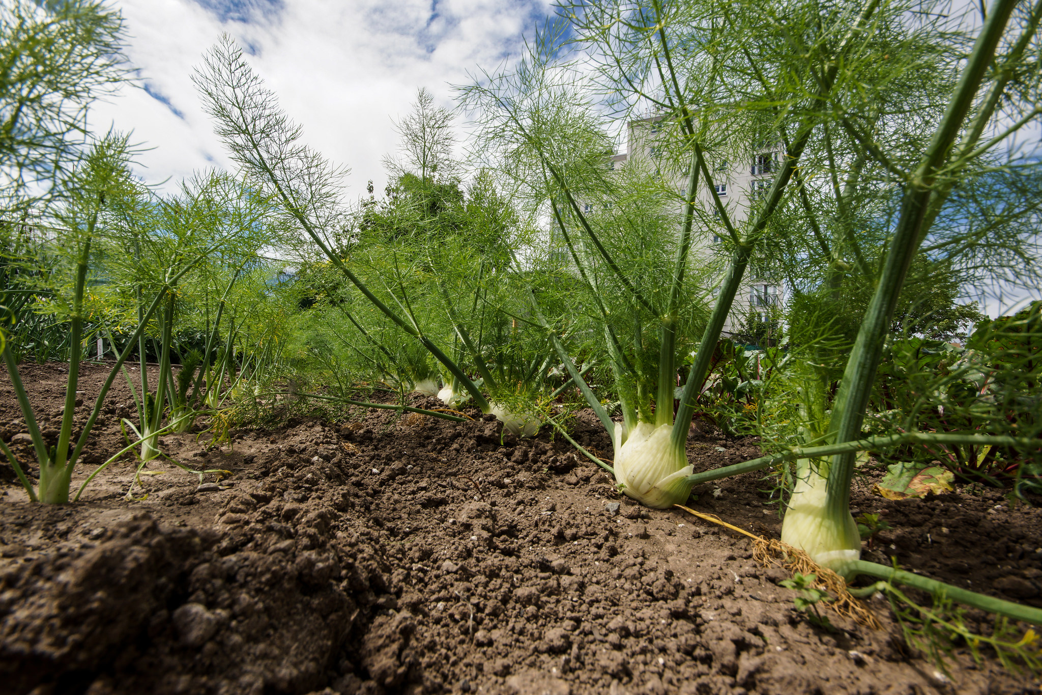 What S In Season Crisp Flavorful Florence Fennel