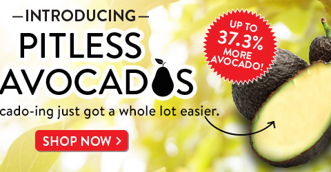 pitless avocado