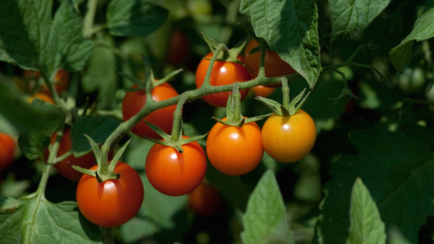 can you eat tomato leaves